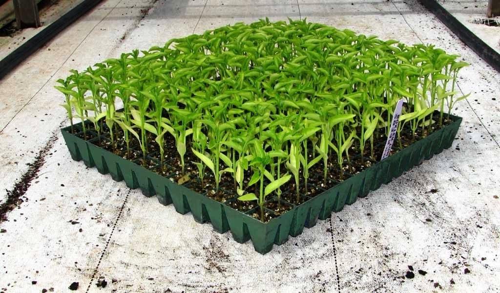germinate capsicum seeds